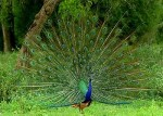 p-1547-Nagpur-Pench-Pandit-Jawaharlal-Nehru-National-Park