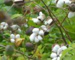 p-2066-cotton
