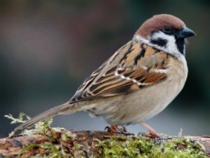 p-34897-sparrow