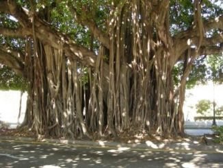 p-38611-Banyan-Tree