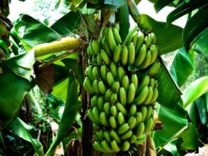 p-514-bananas