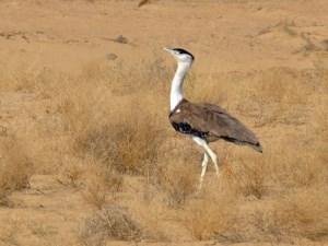 p-2441-Rajasthan-Jaisalmer-Maru-Udyan-Desert-National-Park
