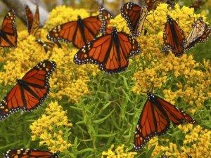 p-monarch-butterfly-garden