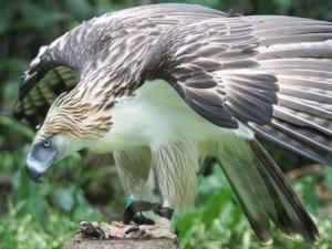 p-2510-philippine-eagle