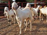 p-32654-goat-farming